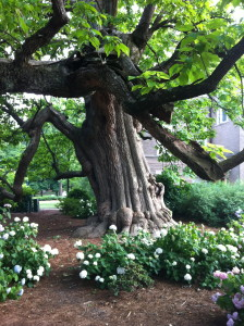 One of the most beautiful trees I have ever seen, this catalpa lives and grows on the campus of the University of Mississippi.