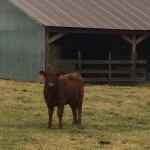 This is Queenie, my only red angus on my farm in southern Missouri.