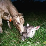 Princess with her first calf.